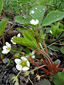 Wild strawberry : 2- Flowering plants