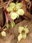 Fraisier des champs : 4- Jeunes fleurs