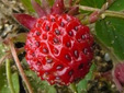 Wild strawberry : 7- Fruit