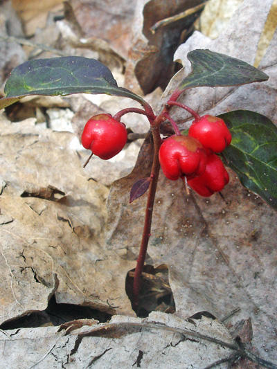 Eastern teaberry (Gaultheria procumbens) : Fruits
