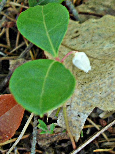 Eastern teaberry (Gaultheria procumbens) : Young flower