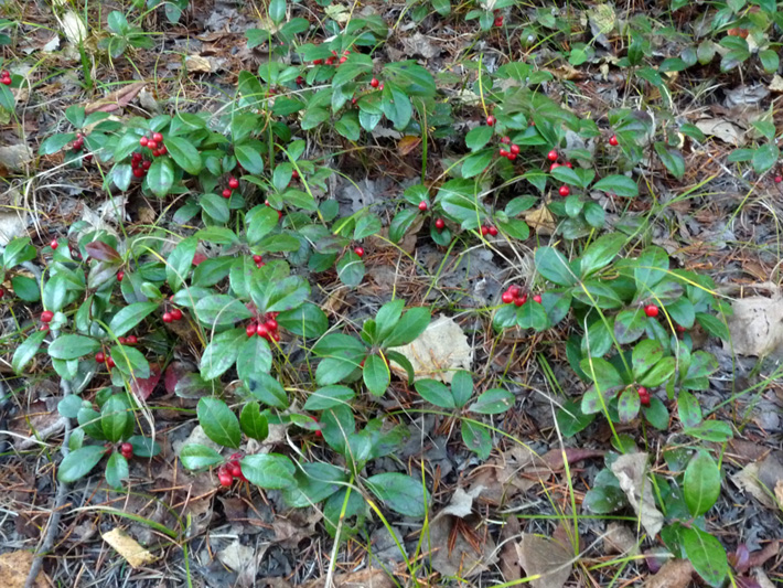 Eastern teaberry (Gaultheria procumbens) : Colony