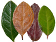 Eastern teaberry : 10- Leaves colors