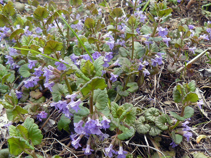 Ground-ivy (Glechoma hederacea) : Flowering plants