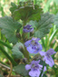 Ground-ivy : 1- Flowering plant
