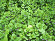 Ground-ivy : 2- Colony