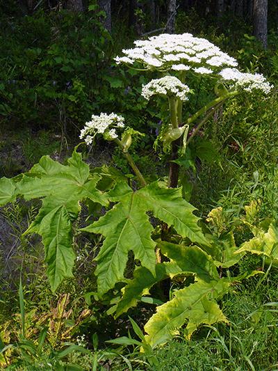 Berce du Caucase (Heracleum mantegazzianum)