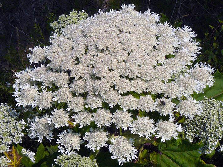 Berce du Caucase (Heracleum mantegazzianum) Inflorescence (Ombelle principale)