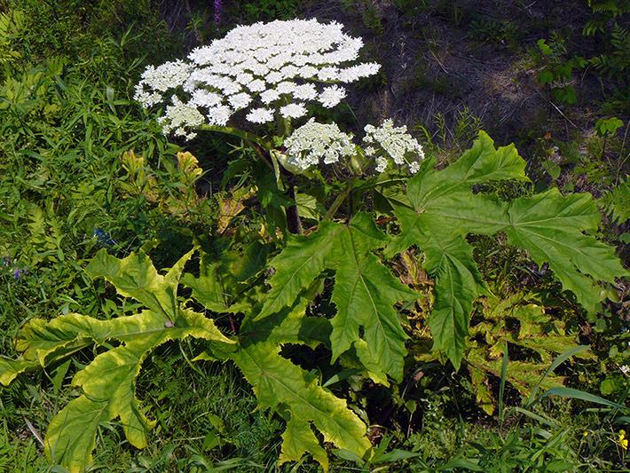 Berce du Caucase (Heracleum mantegazzianum) Plante en fleurs