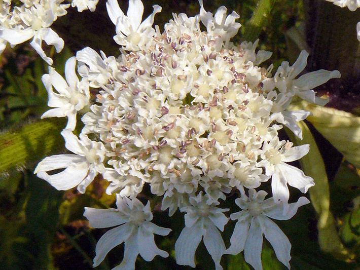 Giant hogweed (Heracleum mantegazzianum) : Inflorescence