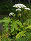 Giant hogweed : 1- Flowering plant
