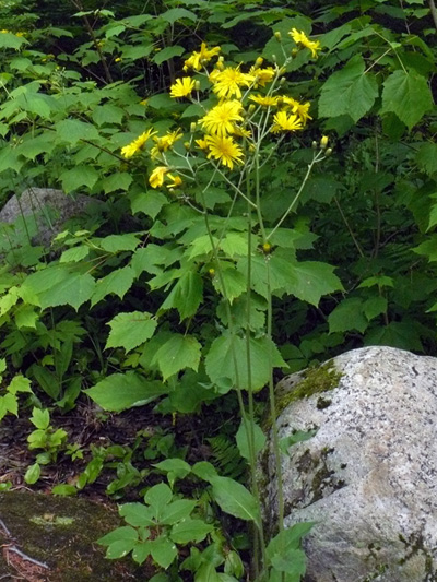 Eperviere en ombelle (Hieracium umbellatum) Plantes en fleurs