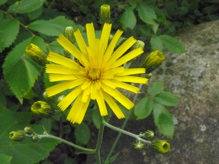 Eperviere en ombelle (Hieracium umbellatum) Fleur