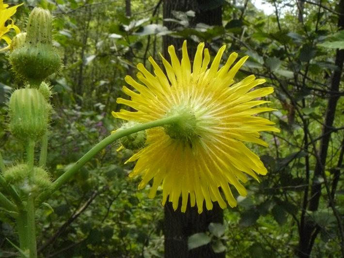 Umbellate hawkweed (Hieracium umbellatum) : Back-view flower