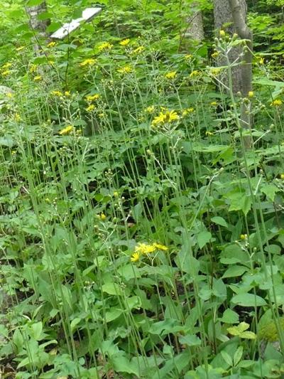 Eperviere en ombelle (Hieracium umbellatum) Colonie