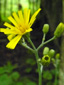 Umbellate hawkweed : 1- Flower and buds
