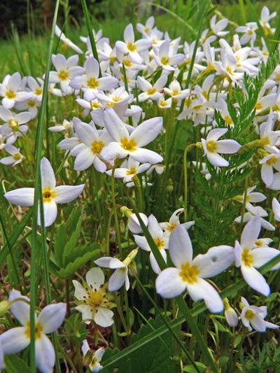 Azure bluets (Houstonia caerulea)