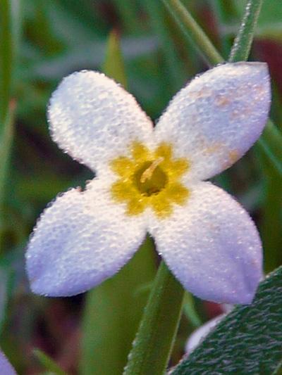 Houstonie bleue (Houstonia caerulea) Fleur à style long