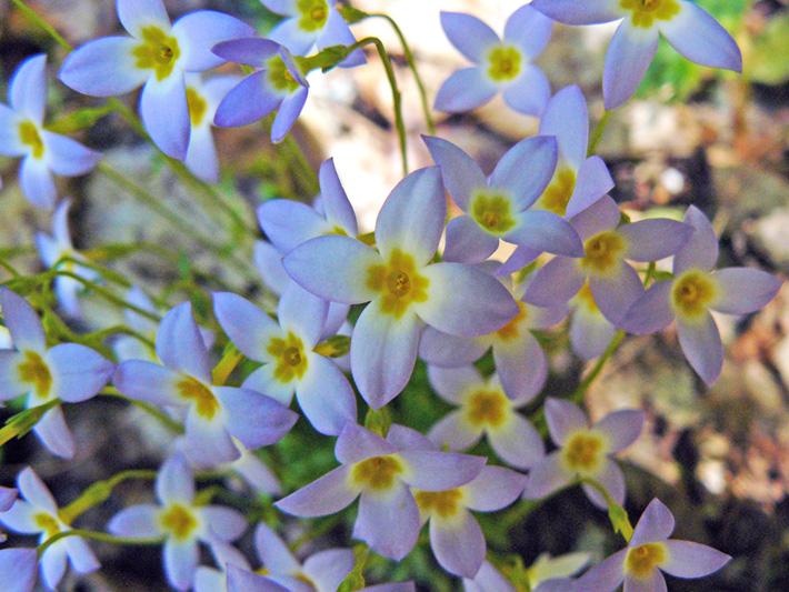 Azure bluets (Houstonia caerulea) : Flowers