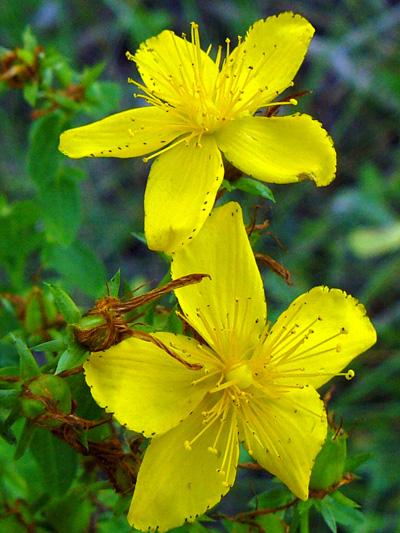 Common St-John's wort (Hypericum perforatum) : Flowers