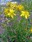 Millepertuis commun : 2- Plantes en fleur