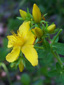 Common St-John's wort : 3- Flower and buds
