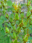 Common St-John's wort : 4- Young fruits