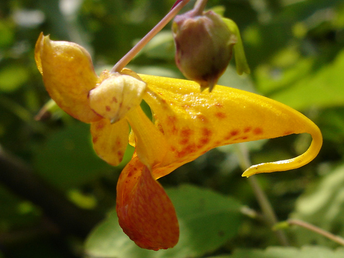 Spotted jewelweed (Impatiens capensis) : Flower