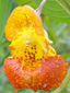 Spotted jewelweed : 1- Flower