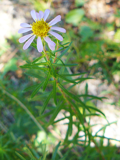Flax-leaved aster (Ionactis linariifolia) : Flowering plant