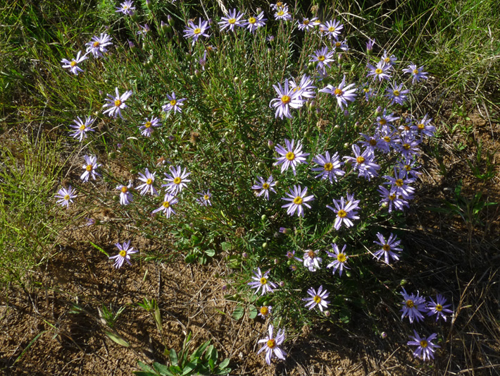 Flax-leaved aster (Ionactis linariifolia) : Colony
