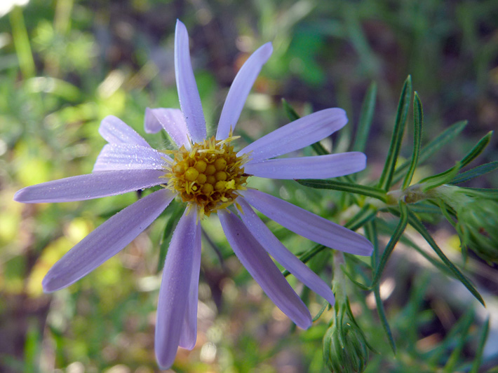 Flax-leaved aster (Ionactis linariifolia) : Flower
