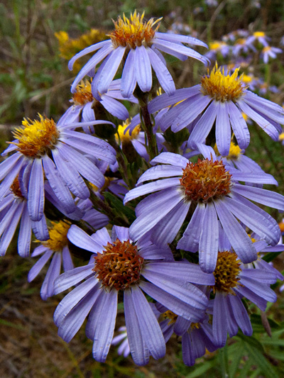 Flax-leaved aster (Ionactis linariifolia) : Inflorescence