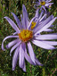 Flax-leaved aster : 1- Flower