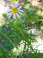 Flax-leaved aster : 2- Flowering plant