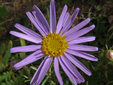 Flax-leaved aster : 3- Flower