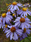 Flax-leaved aster : 6- Inflorescence
