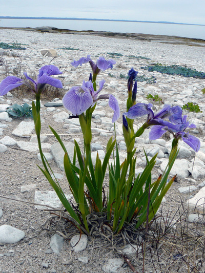 Iris petit-pétale (Iris hookeri)