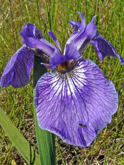 Hooker's iris (Iris hookeri) : Flower
