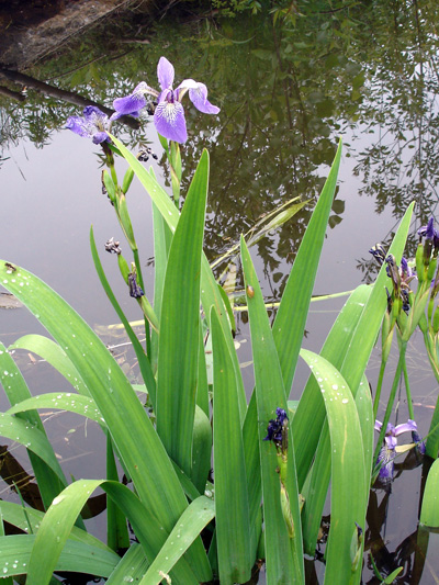 Harlequin blue flag (Iris versicolor) : Flowering plant
