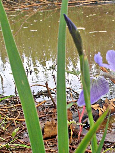Iris versicolore (Iris versicolor) Bouton