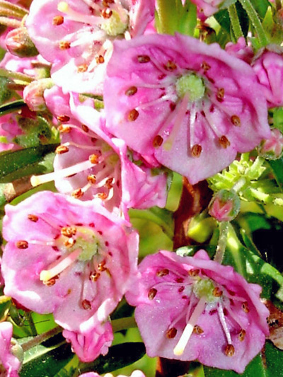Sheep Laurel (Kalmia angustifolia)