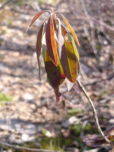 Kalmia a feuilles etroites (Kalmia angustifolia) Plante tòt au printemps