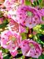 Kalmia à feuilles étroites : 1- Inflorescence