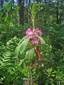 Sheep Laurel : 4- Flowering plant