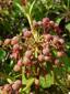 Kalmia à feuilles étroites : 7- Fruits immatures