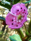 Kalmia à feuilles étroites : 8- Fleur