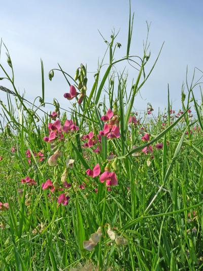 Gesse a feuilles larges (Lathyrus latifolius) Plantes en fleurs