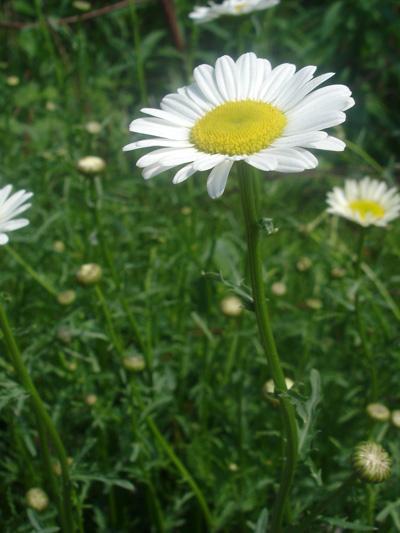 Marguerite blanche (Leucanthemum vulgare) Plante en fleur