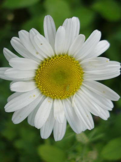 Marguerite blanche (Leucanthemum vulgare) Capitule